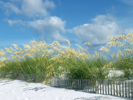Pensacola Beach Sea Oats