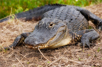 American Alligator by Rich Leighton