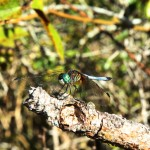 Dragonfly at Fort Pickens Campground
