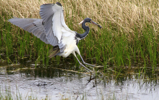 Tricolored Heron catching lunch