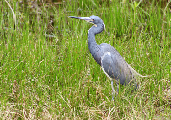 Tricolored Heron waiting for lunch