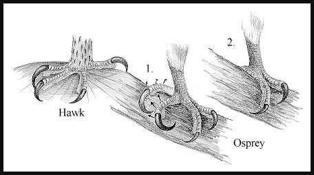 Owl Claws Drawing Osprey Claw Drawing