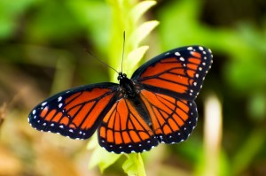 Viceroy Butterfly photo by Rich Leighton