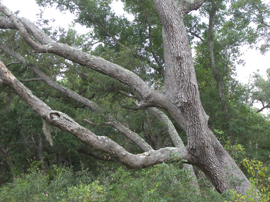 Oak tree at Naval Live Oaks Park