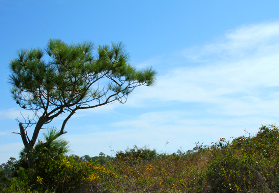 Tree at Fort Pickens