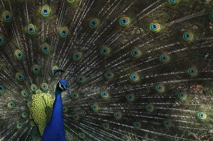 Peacock at Gulf Breeze Zoo