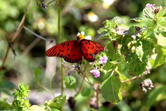 Butterfly- Gulf Fritillary