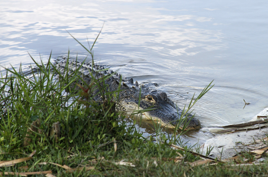American Alligator in Gator lake
