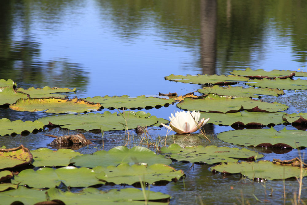 Lily Pad At The Lake Outdoor Gulf Coast Of Northwest Florida