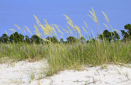 Sea Oats at Fort Pickens