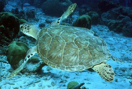 green sea turtle noaa
